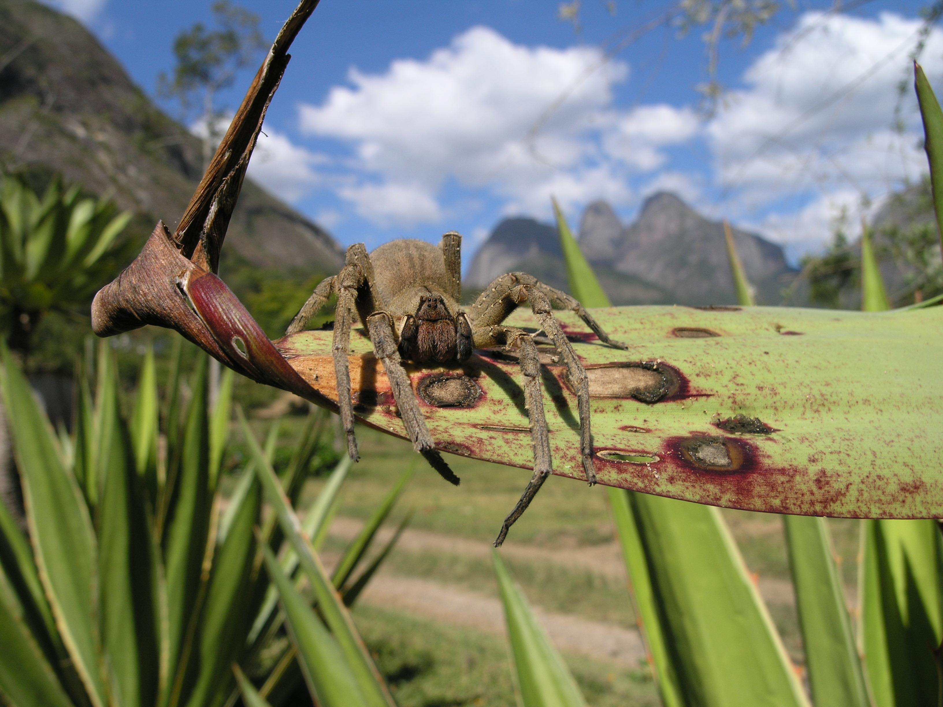 ragno che provoca erezione