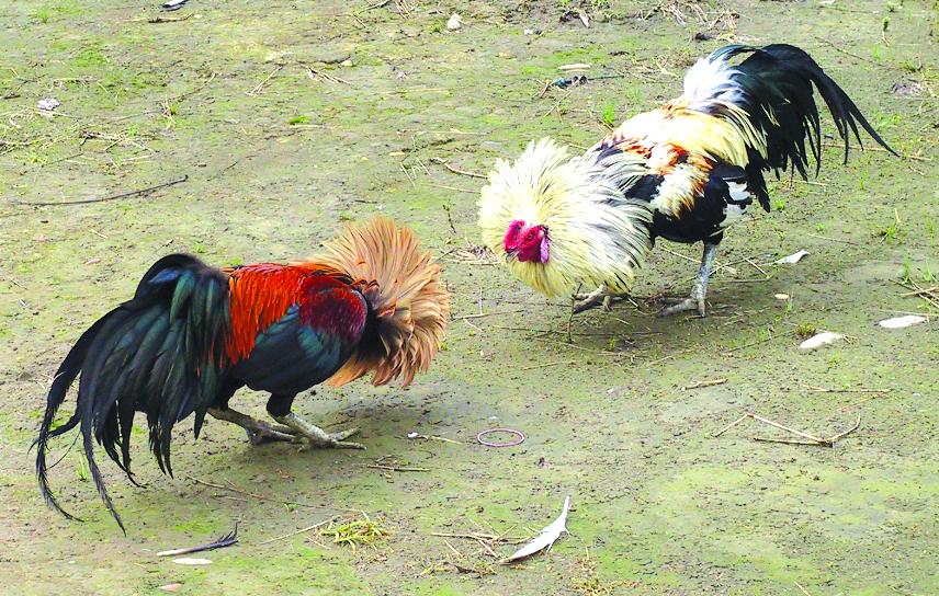 I combattimenti di galli a Tenerife