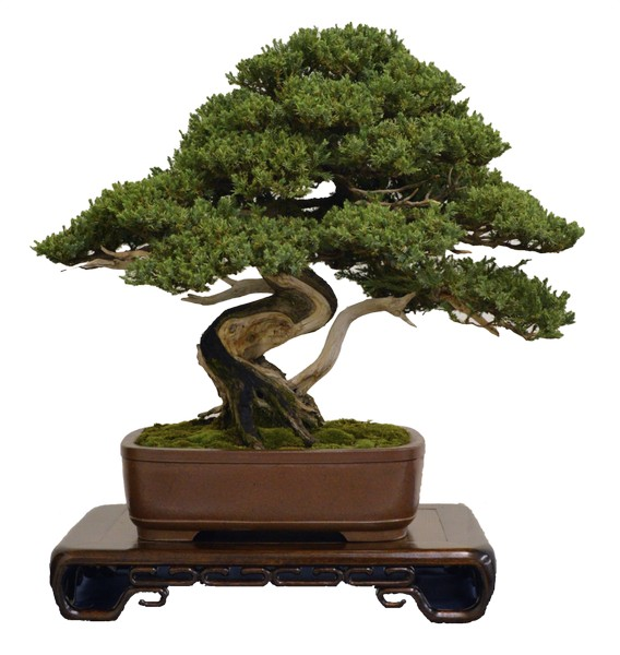 Mostra di bonsai for Bonsai costo