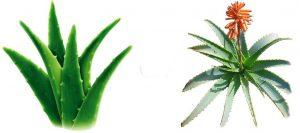 Aloe Vera O Aloe Arborescens